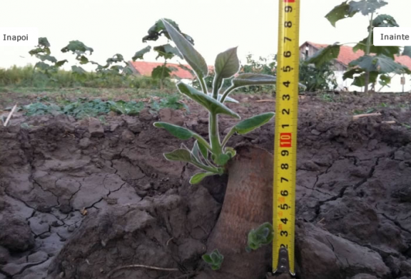 Infiintare plantatie Paulownia – o solutie pentru natura