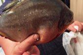 Specie a Piranhei în România? Peștele descoperit în Firiza