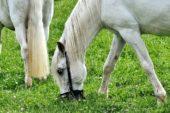 Într-un parc din Timișoara, câțiva cai au fost lăsați să pască