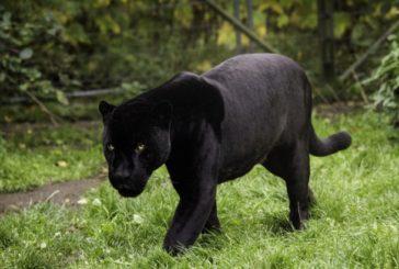 Dintr-o grădină zoologică a fost furată o panteră neagră